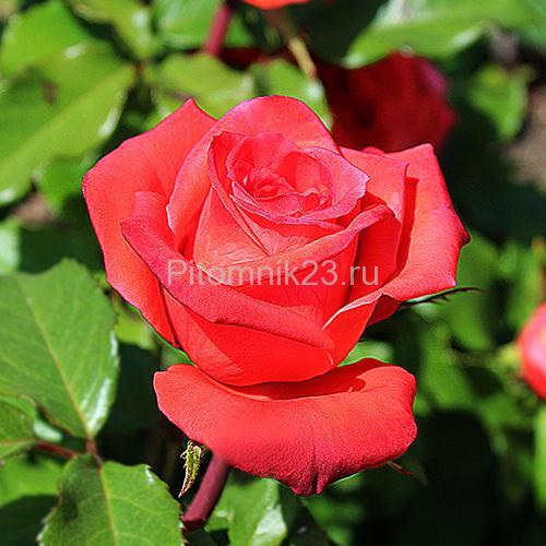 Саженцы роз Manitou (Маниту)