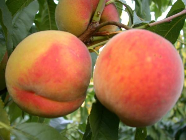 Саженцы персика Манон