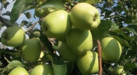 Саженцы яблони Марго