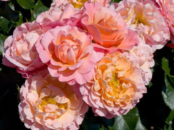 Саженцы роз Marie curie (мари кюри)