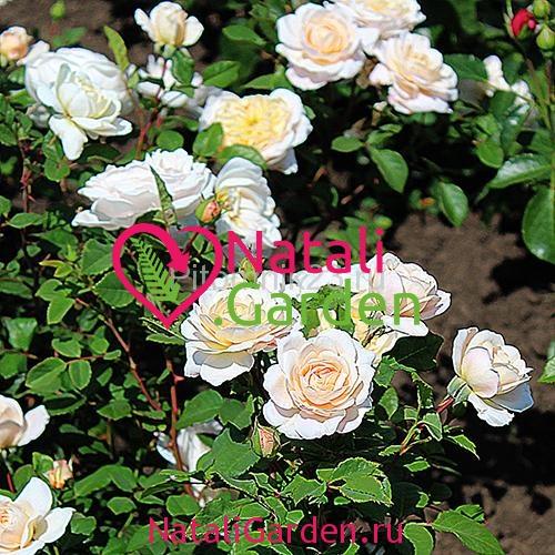 Саженцы розы Мартин