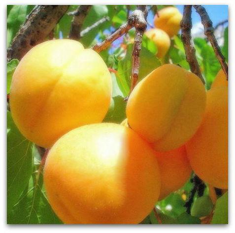 Саженцы абрикоса Медовый