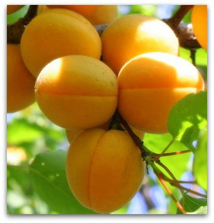 Саженцы абрикоса Мелитопольский поздний