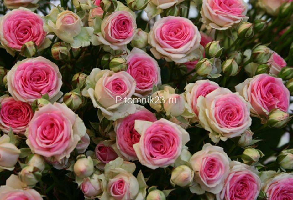 Саженцы розы спрей Мими Эдем (Mimi Eden)