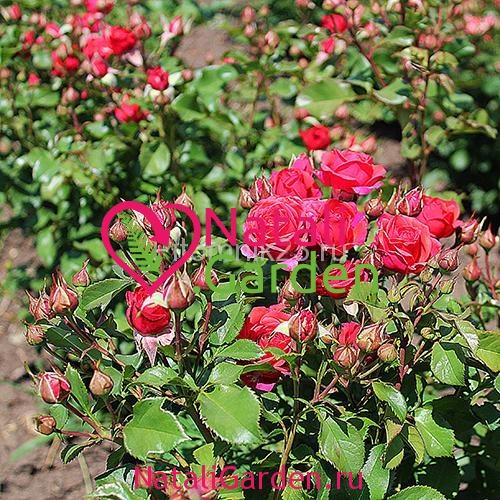 Саженцы розы Мирабель