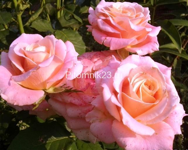 Саженцы чайно-гибридной розы Мисс Пигги (MissPiggy)