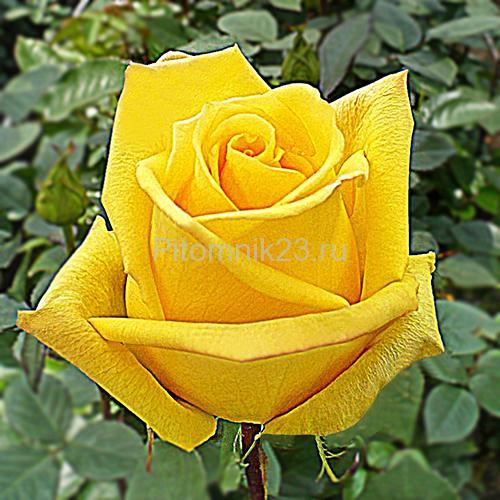 Саженцы роз Mohana (Мохана)