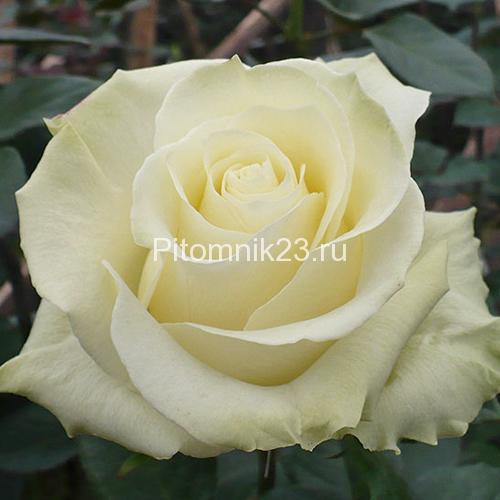 Саженцы чайно-гибридной розы Мондиаль (Mondiale)