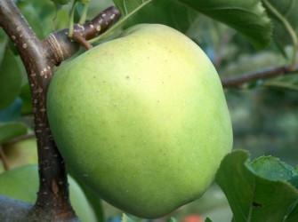 Саженцы яблони Муцу