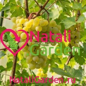Саженцы винограда Мускат Албэ
