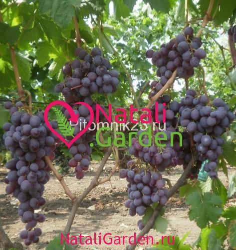 Саженцы винограда Мускат Новошахтинский