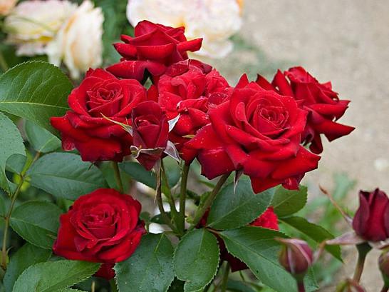 Саженцы роз Nicсolo paganini (никколо паганини)