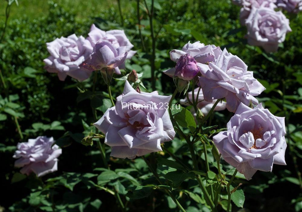 Саженцы чайно-гибридной розы Блю Найл (BlueNile)