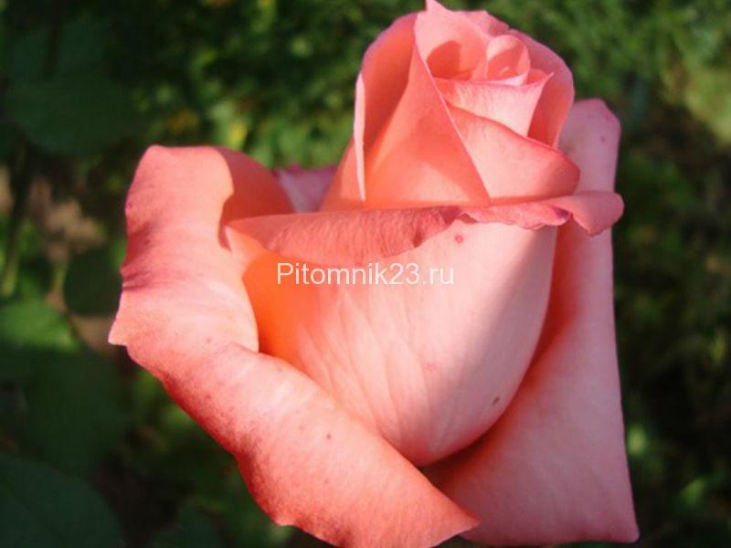 Саженцы чайно-гибридной розы Нобилис (Nobilis)