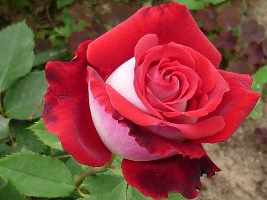 Саженцы роз Nikole (николь)