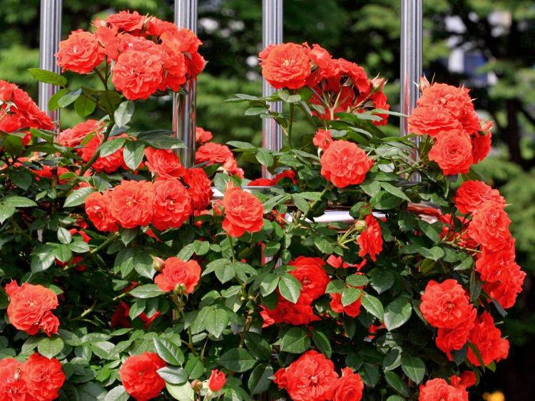 Саженцы роз Orange meillandina (оранж мейландина)