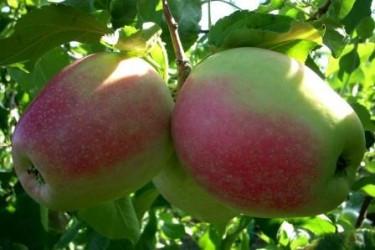 Саженцы яблони Орфей