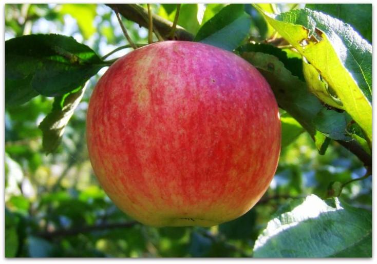 Саженцы яблониОсеннее полосатое
