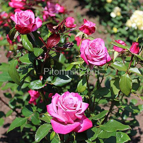 Саженцы чайно-гибридной розы Парадайз (Paradise)