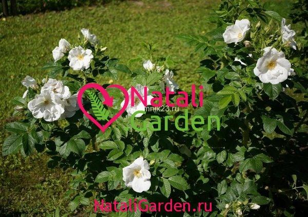 Саженцы английской парковой розы Парсли