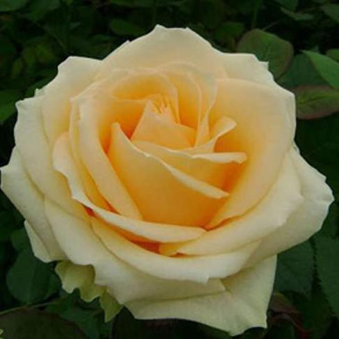 Саженцы роз Peach Avalanche (Пич Аваланж)