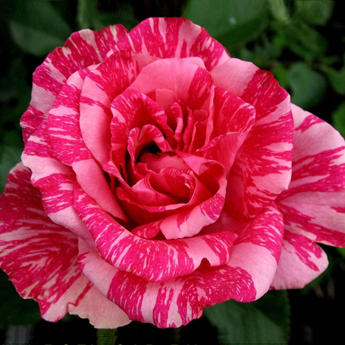 Саженцы роз Pink Intuition (Пинк Интуишн)