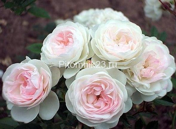 Саженцы миниатюрной розы Pixie (Пикси)
