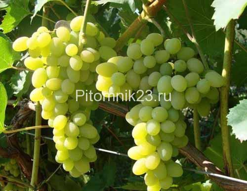 Саженцы винограда Плевен
