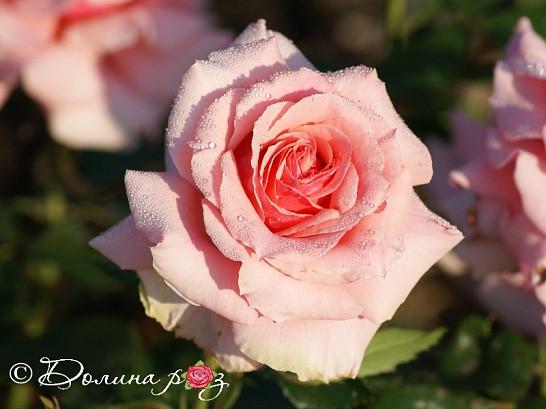 Саженцы роз Poesie (поэзия)