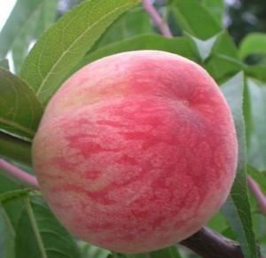 Саженцы персика Посол мира