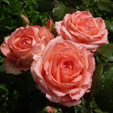 Саженцы роз Pretty Woman (Прети Вумен)