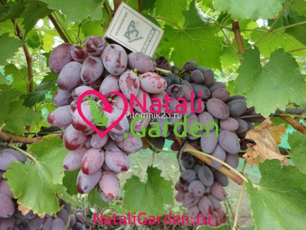 Саженцы винограда Придорожный