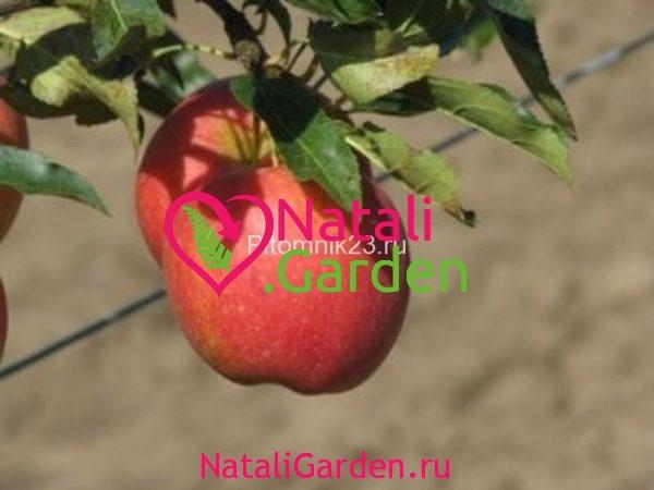 Саженцы яблони Прикубанское