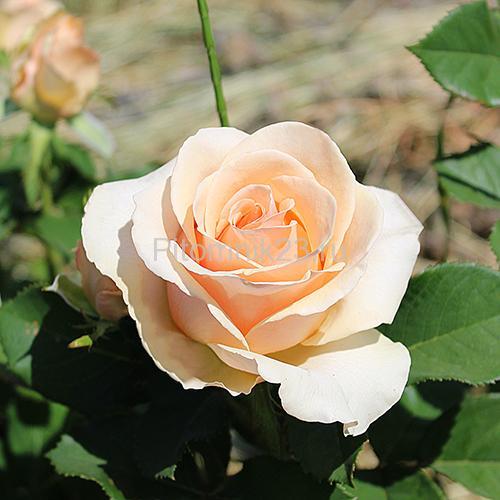 Саженцы роз Prima Donna (Примадонна)