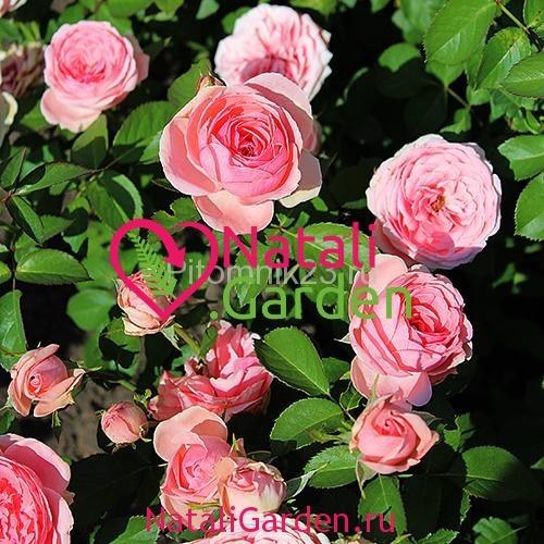 Саженцы розы Принцесса Александра