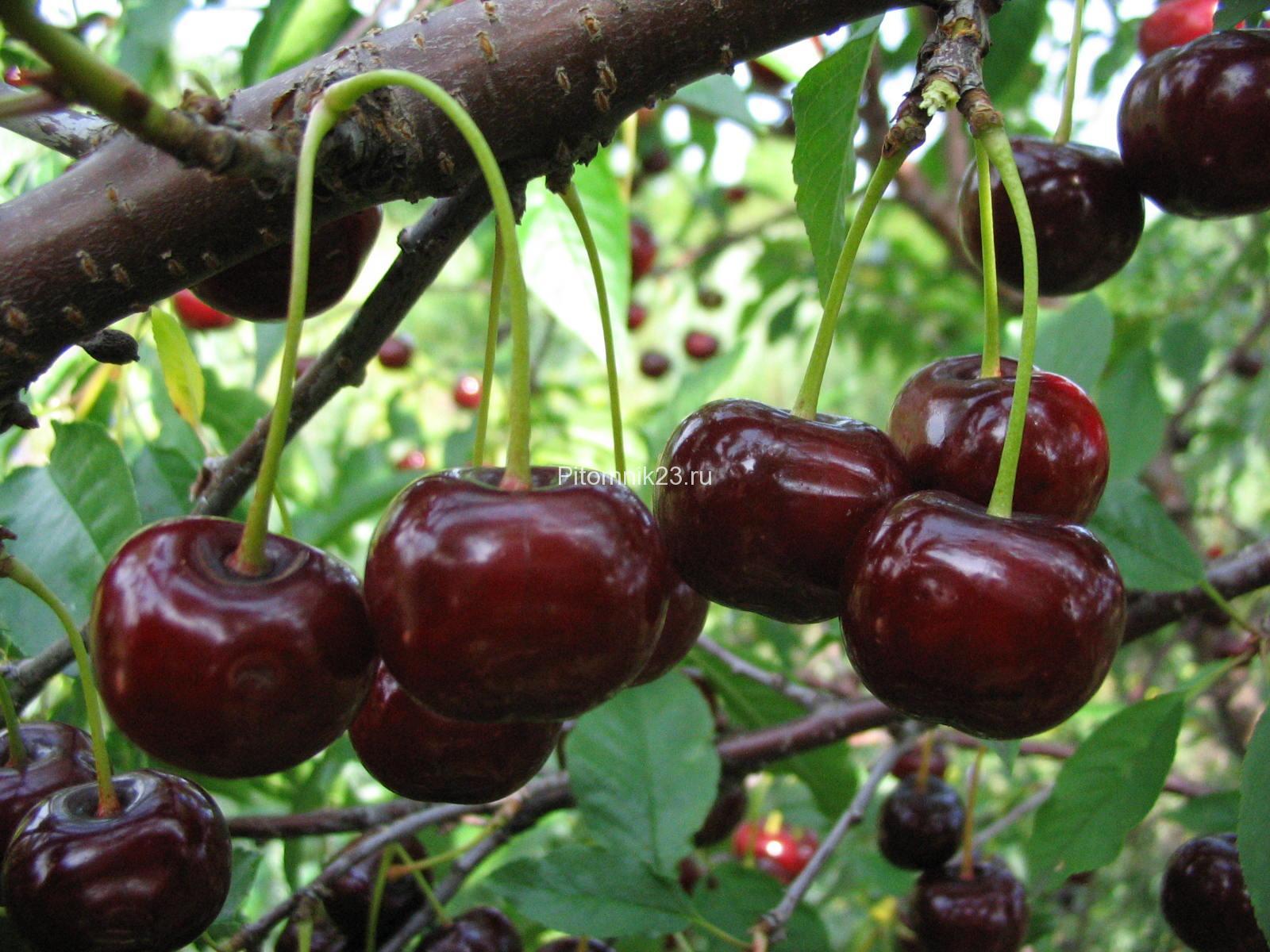 Саженцы вишни Радонеж