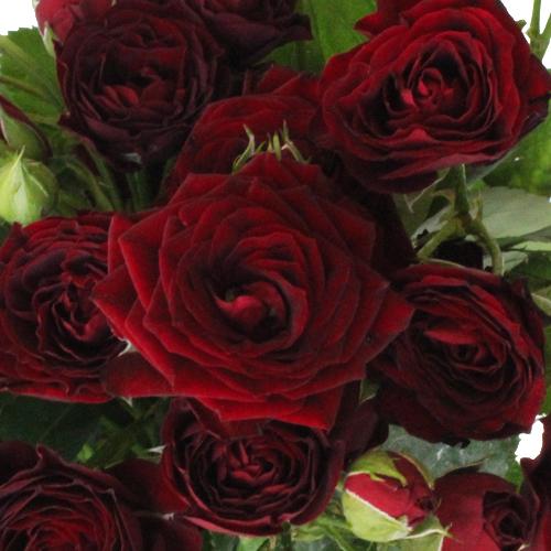 Саженцы роз Red Sensation (Ред Сенсейшн)