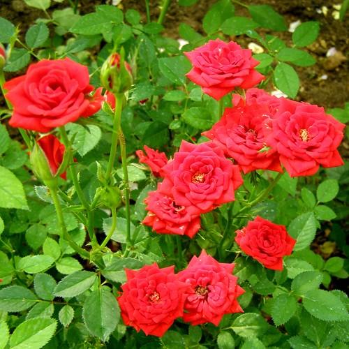 Саженцы роз Red Sunblaze (Ред Санблейз)