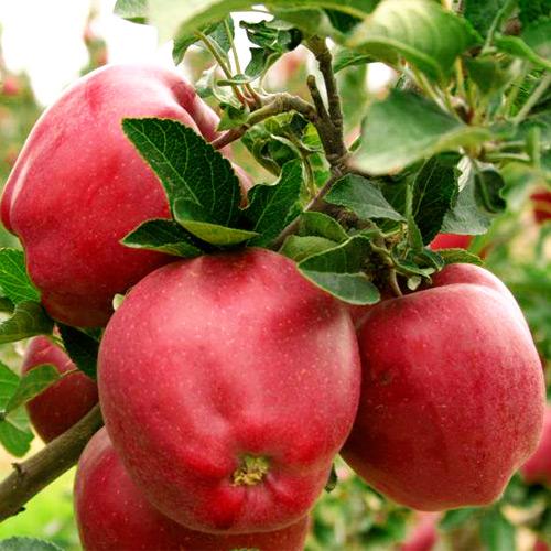 Саженцы яблони Ред Делишес