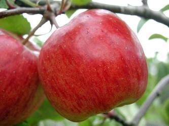 Саженцы яблони Ред Фри