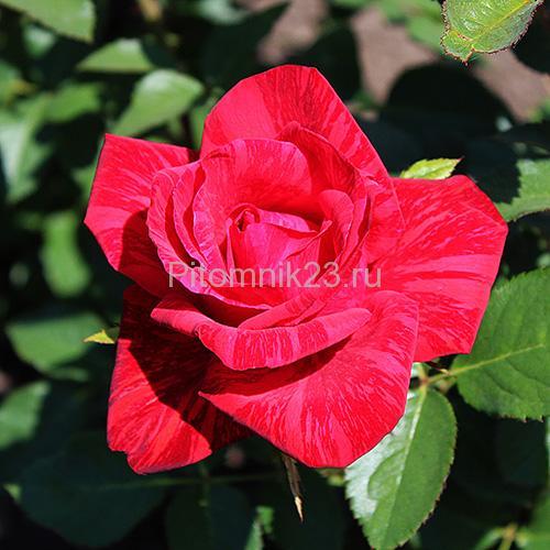 Саженцы роз Red Intuition (Ред Интуишн)