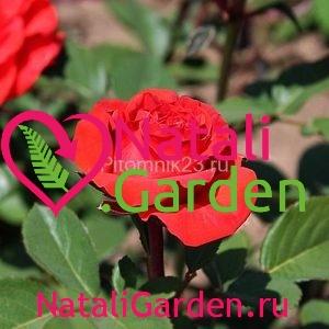 Саженцы розы Ред Микадо
