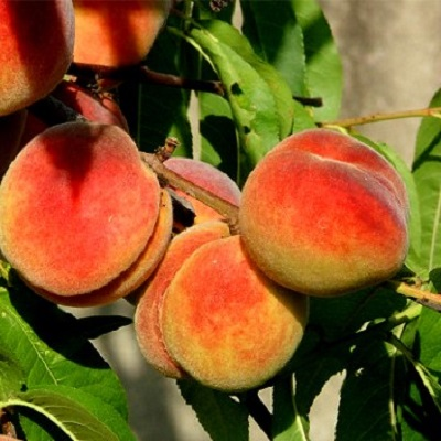 Саженцы персика Регалайс