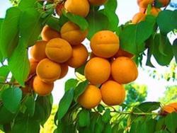 Саженцы абрикоса Россиянин