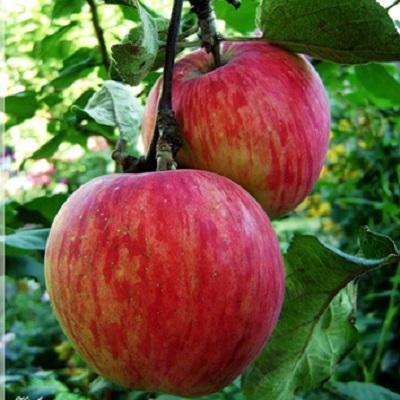 Саженцы яблони Россошанское Августовское