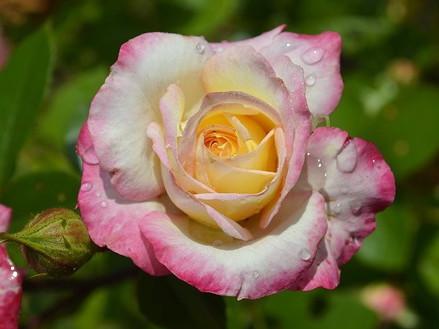 Саженцы роз Royal minueto (роял минуэто)