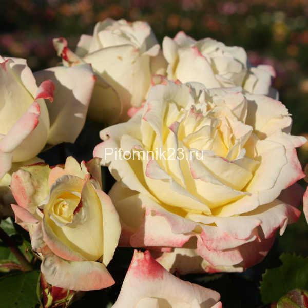Саженцы чайно-гибридной розы Атена (Athena)