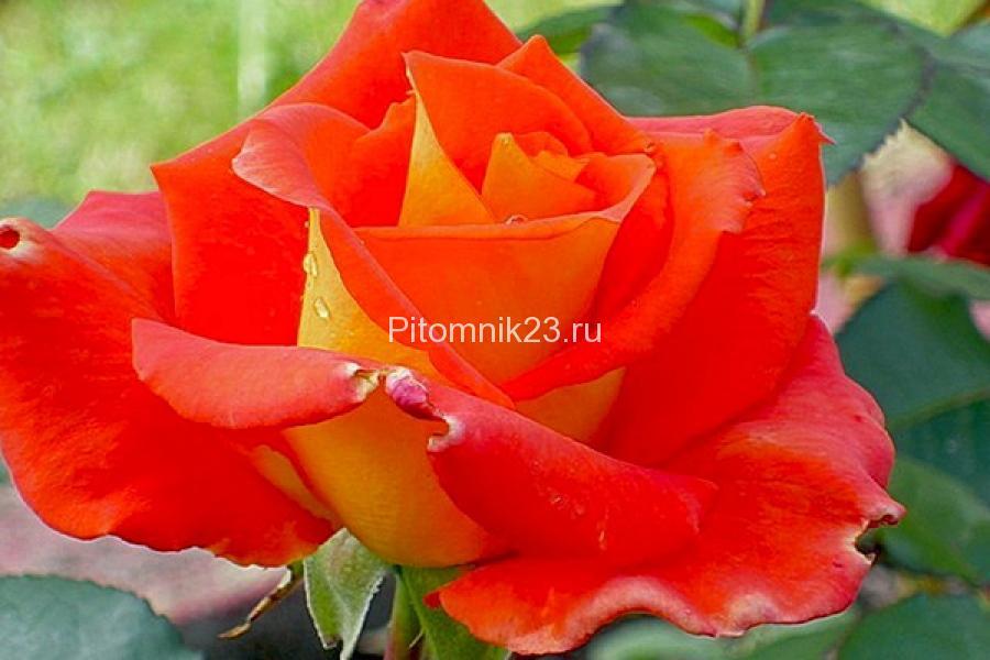 Саженцы чайно-гибридной розы Моника (Monika)