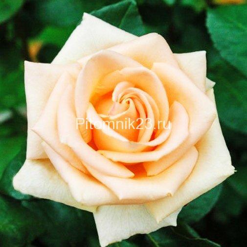 Саженцы чайно-гибридной розы Осеана (Oceana)
