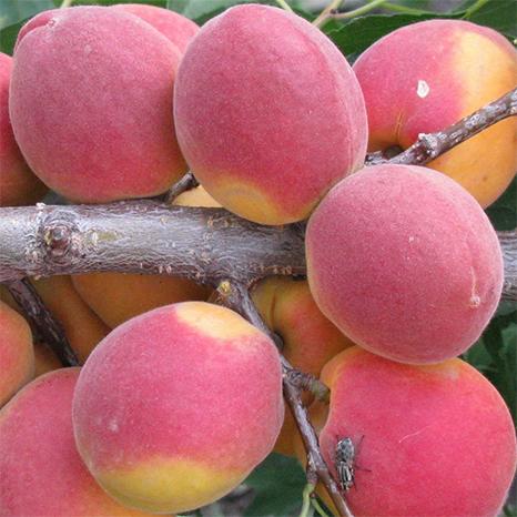Саженцы абрикоса Саратовский Рубин